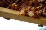 Honeybee queen cells on frames.