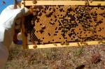 Capped brood on one of my frames.