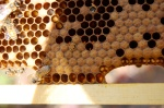 On the top middle and very middle of picture you can see new bees hatching out of their brood cells---very cool!